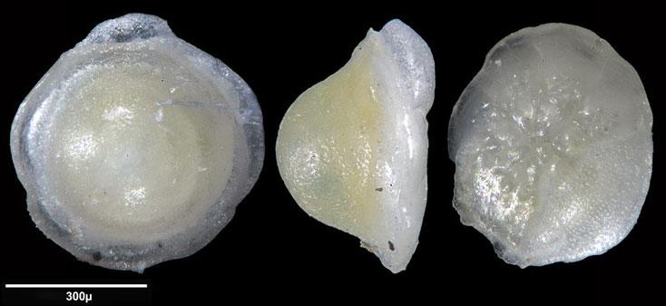 Bild 9 Foraminifere aus Maribago, Philippines; Gattung: Eponides sp (Montfort, 1808)