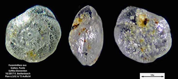 Bild 16 Foraminiferen aus Sand von Punta Sottile. Gattung: konnte nicht bestimmt werden