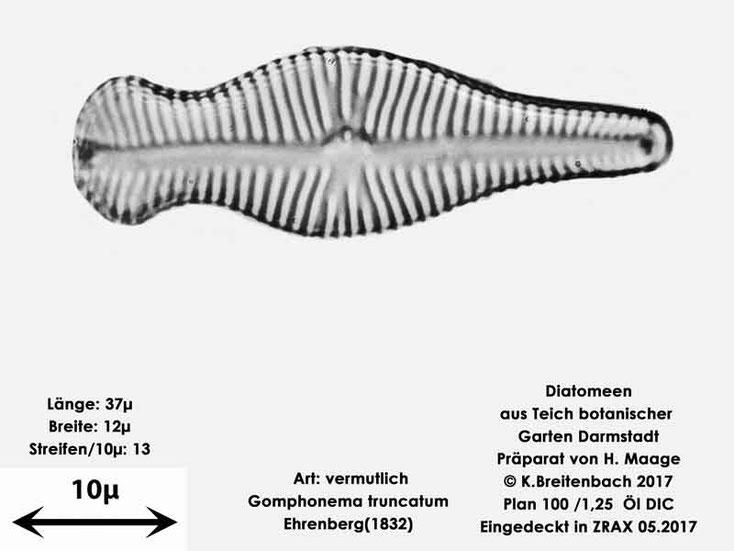 Bild 15 Diatomee aus dem botanischen Garten in Darmstadt, Art: vermutlich Gomphonema truncatum Ehrenberg(1832)