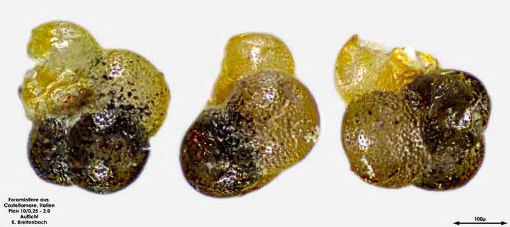 Foraminifere aus Castellammare; Gattung: Globigerina sp.