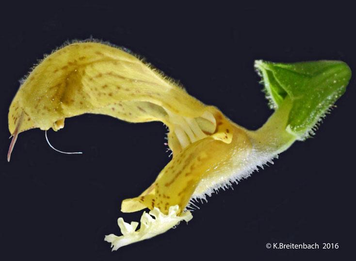 """Bild 2 Blüte des """"Klebrigen Salbei"""" (Salvia glutinosa)"""
