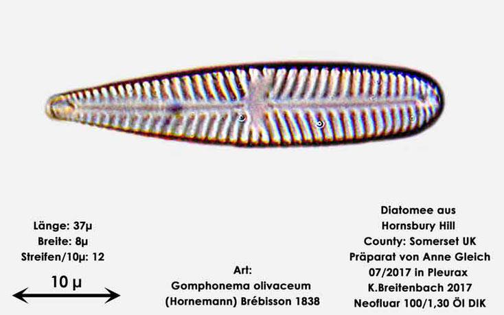 Bild 13 Diatomee aus Hornsbury Hill, County Somerset UK, Art: Gomphonema olivaceum (Hornemann) Brébisson 1838