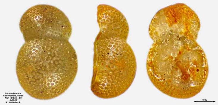Foraminifere aus Castellammare; Gattung: Globorotalia sp.