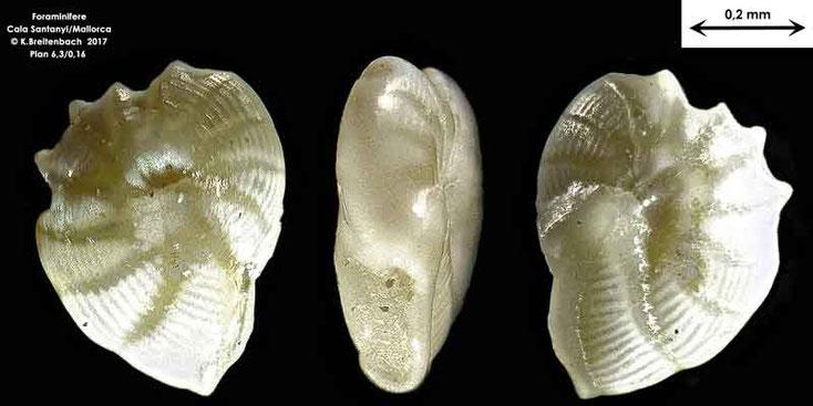Bild 15 Foraminifere aus Mallorca Cala Santanyi, Art: Peneroplis planatus (Fichtel & Moll, 1798)