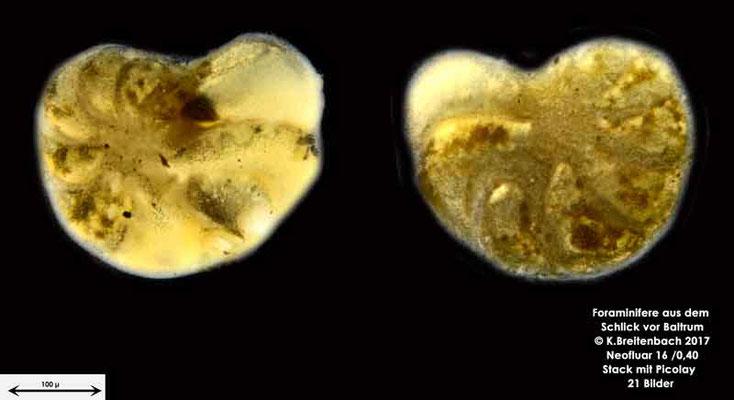 Bild 12 Foraminifere aus dem Wattschlick vor Baltrum; Vorder- und Rückseite; Art: unbestimmt von mir