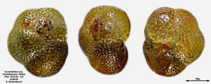 Foraminifere aus Castellammare; Gattung: Globorotaloides hexagonus