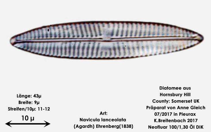 Bild 18 Diatomee aus Hornsbury Hill, County Somerset UK, Gattung: Navicula spec.