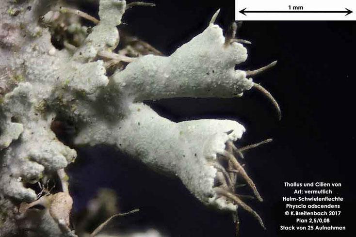 Bild 3 Flechte von Baumrinde, von einer Platane Art: vermutlich Physcia adscendens (Helm-Schwielenflechte)