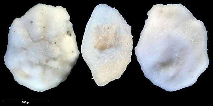 Australien, Foraminiferen, Miocän, Kalkstein