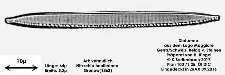 Bild 36 Diatomee aus dem Lago Maggiore/Gerra Schweiz, Art vermutlich Nizschia heufleriana Grunow (1862)