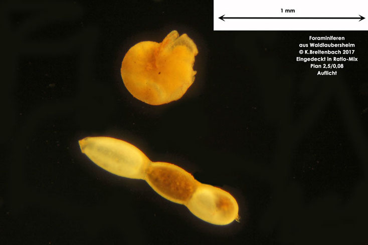 Bild 4 Foraminiferen aus Waldlaubersheim