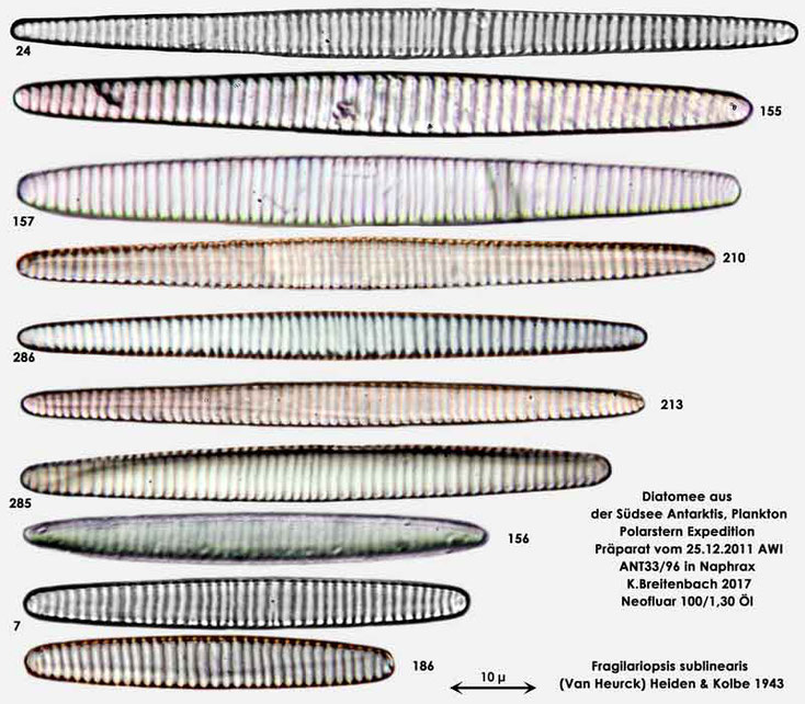 Bild 11 Diatomee aus dem anarktischen Ozean Präparat: ANT33/96; Art: Zusammenfassung: Fragilariopsis sublinearis (Van Heurck) Heiden & Kolbe 1943