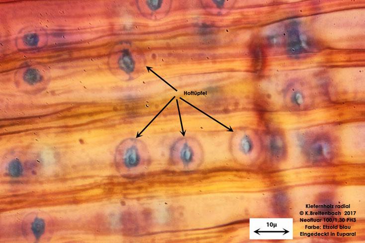 Kiefer im Radialschnitt, Etzold blau gefärbt, mit 100er Neofluarobjektiv mit Öl im Durchlichtmikroskop 1000 fache Vergrößerung