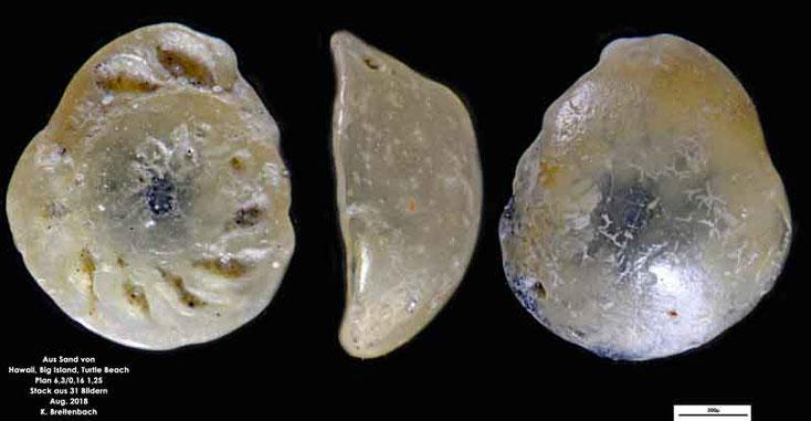 Foraminifere aus Hawaii, Big Island; Turtle Beach. Gattung: konnte nicht bestimmt werden