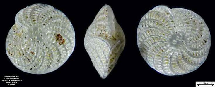 Bild 37 Foraminifere aus Koper/Slowenien Art: Elphidium crispum (Linnaeus, 1758)