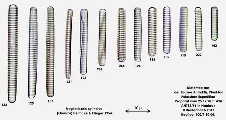 Bild 3 Diatomee aus dem anarktischen Ozean Präparat: ANT33/96; Zusammenfassung Art: Fragilariopsis cylindrus (Grunow) Helmcke & Krieger 1954