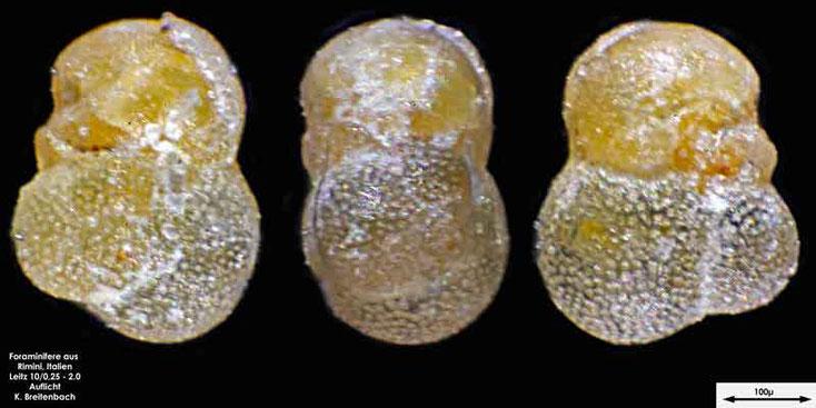 Foraminifere aus Strandsand aus Rimini; Gattung: Globorotalia sp.