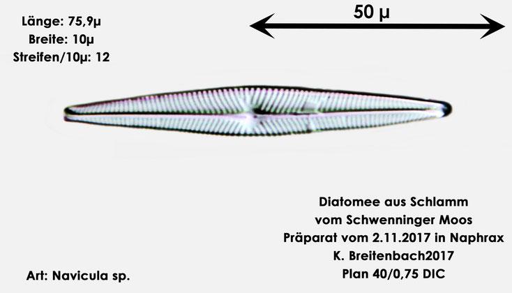 Bild 12 Diatomeen aus dem Schwenninger-Moos Gattung: Navicula sp.