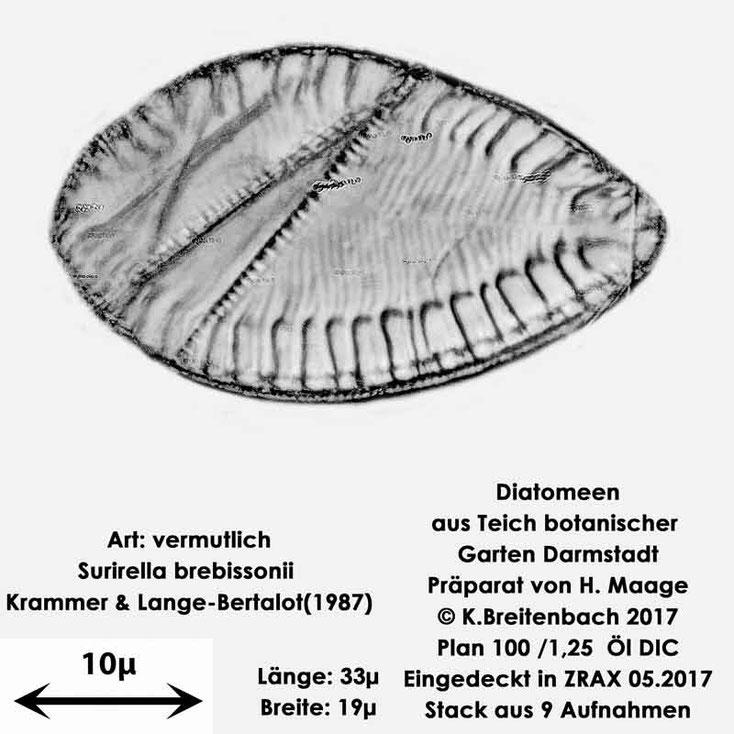 Bild 24 Diatomee aus dem botanischen Garten in Darmstadt, Art: vermutlich Surirella brebissonii Krammer & Lange-Bertalot(1987)