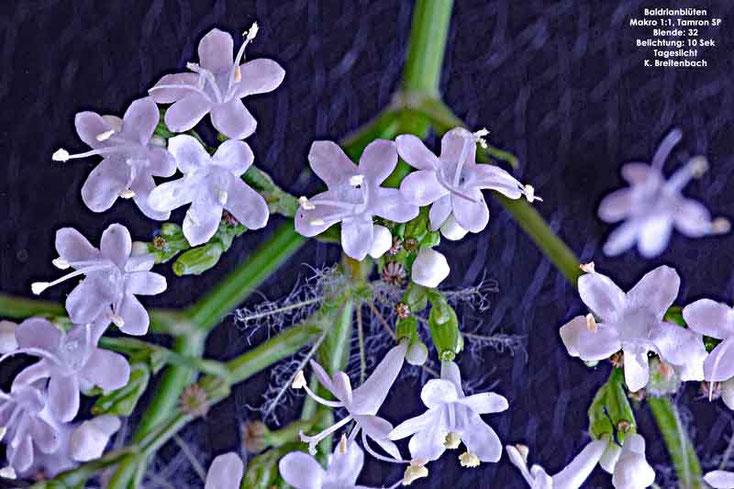 Baldrianblüte (Valeriana officinalis)