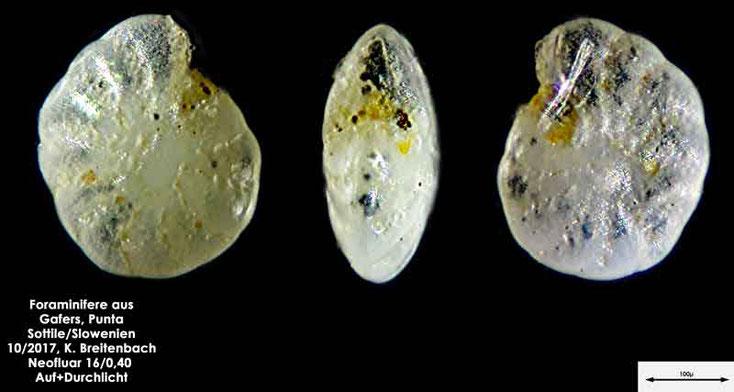 Bild 11 Foraminiferen aus Sand von Punta Sottile. Gattung: konnte nicht bestimmt werden