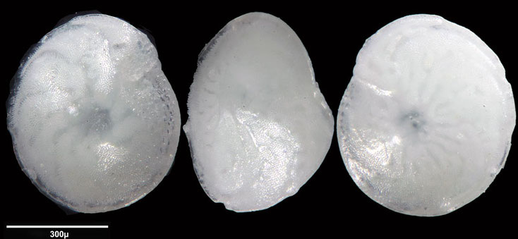 Foraminifere aus Saudi Arabien, Ras as Zawr, Gattung: Amphistegina sp