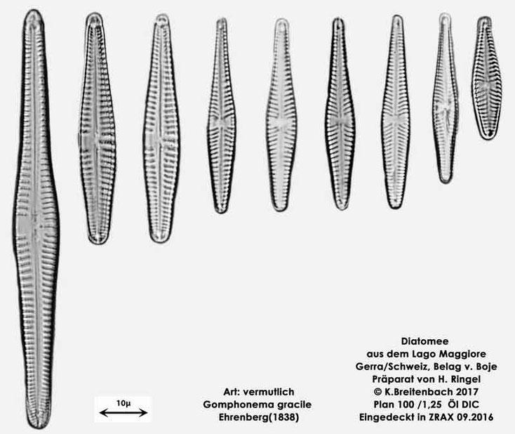 Bild 50 Diatomee aus dem Lago Maggiore/Gerra Schweiz, Art: vermutlich Gomphonema gracile Ehrenberg (1838)