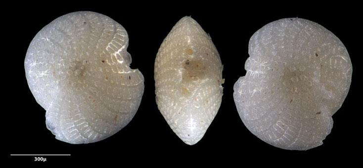 Bild 15 Foraminifere aus Sand vom Strand Flic en flac in Mauritius. Art: Elphidium crispum (Linnaeus 1758)