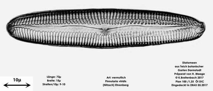 Bild 21 Diatomee aus dem botanischen Garten in Darmstadt, Art: vermutlich Pinnularia viridis (Nitzsch) Ehrenberg