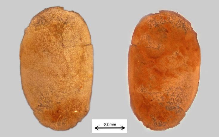 Vermutlich Ostrakode aus Waldlaubersheim Art unbekannt