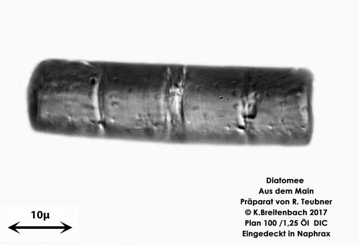 Bild 8 Diatomeen aus dem Main km 69,4 Art: vermutlich Melosira spec.
