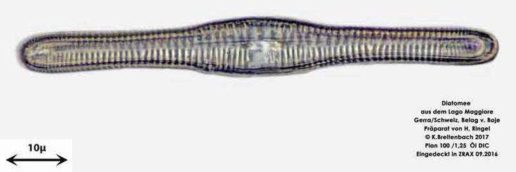 Bild 55 Diatomee aus dem Lago Maggiore/Gerra Schweiz, Gattung mir unbekannt