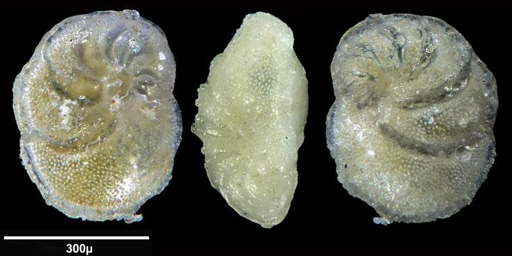 Bild 11 Foraminifere aus Maribago, Philippines; Gattung: Globorotalia sp (Cushman 1927)