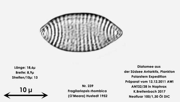 Bild 11 Diatomee aus dem anarktischen Ozean Präparat: ANT32/28; Art: Fragilariopsis rhombica (O'Meara) Hustedt 1952