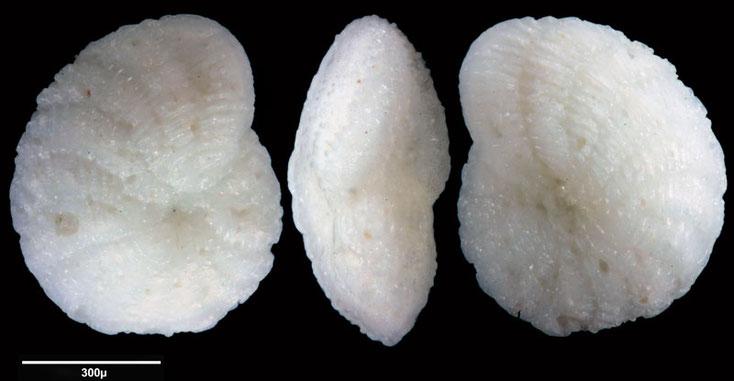 Foraminifere aus Saudi Arabien, Ras as Zawr, Gattung: Elphidium sp