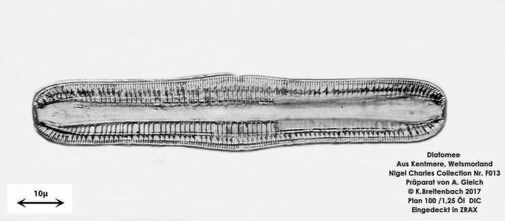 Bild 8 Diatomeen aus Kentmere Westmoreland UK Art: Unbekannt