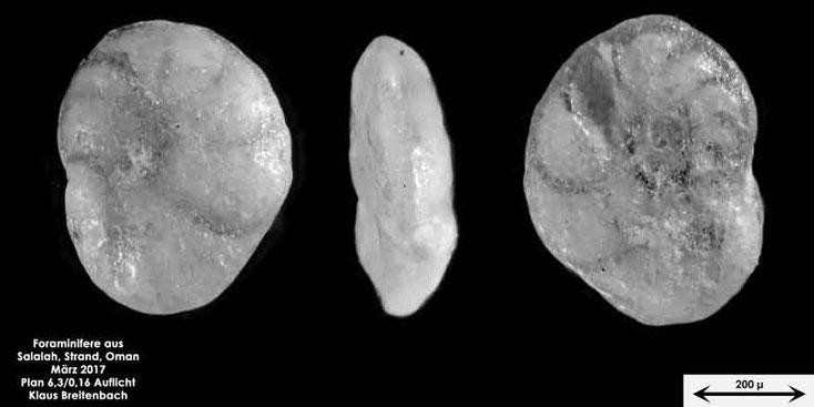 Bild 6 Foraminifere vom Strand in Salalah, Oman Gattung: Unbestimmt von mir