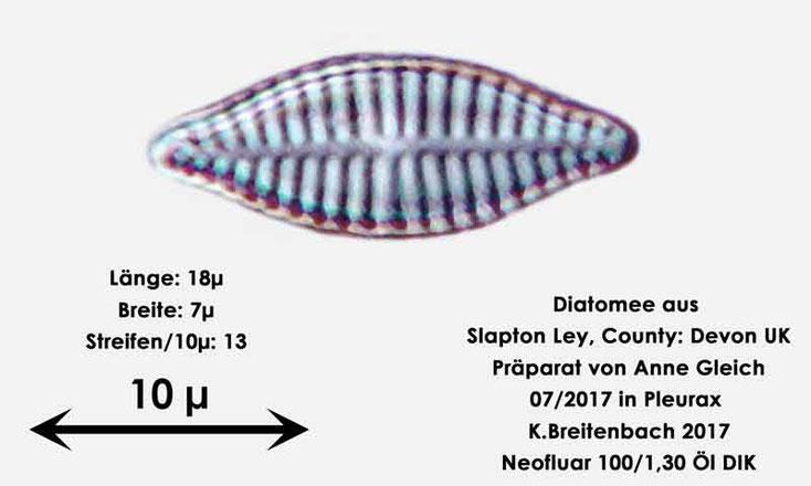 Bild 37 Diatomeen aus Slapton Ley, Devon UK; Gattung: wurde von mir nicht bestimmt