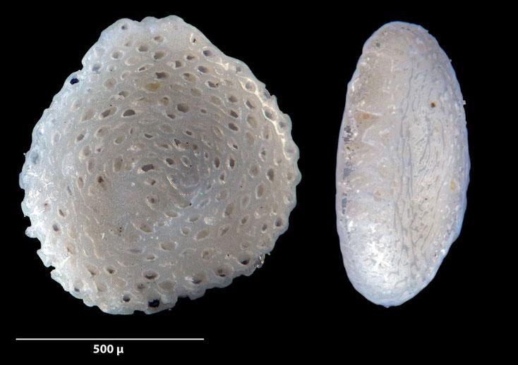 Bild 11 sp Foraminifere, aus Sand vom Strand Flic en flac in Mauritius; Genus und Art: unbekannt