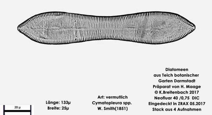 Bild 9 Diatomee aus dem botanischen Garten in Darmstadt, Gattung: vermutlich Cymatopleura spec.