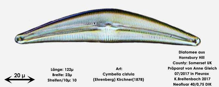 Bild 4 Diatomee aus Hornsbury Hill, County Somerset UK, Art: Cymbella-cistula-(Ehrenberg)-Kirchner(1878)