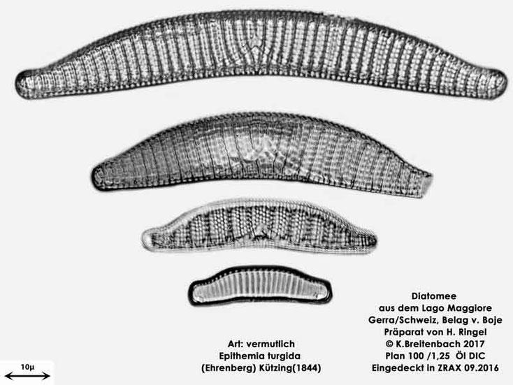 Bild 49 Diatomee aus dem Lago Maggiore/Gerra Schweiz, Art: vermutlich Epithemia turgida (Ehrenberg) Kützing (1844)