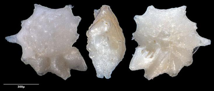 Bild 9 Foraminifere, aus Sand vom Strand Flic en flac in Mauritius; Art: Neorotalia calcar (d'Orbigny 1839)