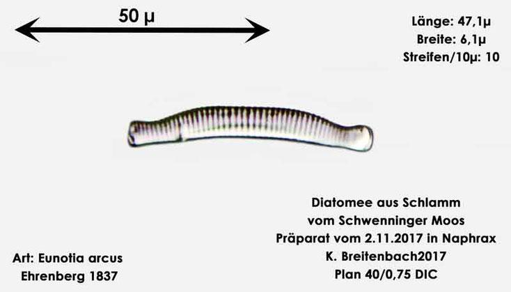 Bild 5 Diatomeen aus dem Schwenninger-Moos Art: Eunotia arcus Ehrenberg 1837