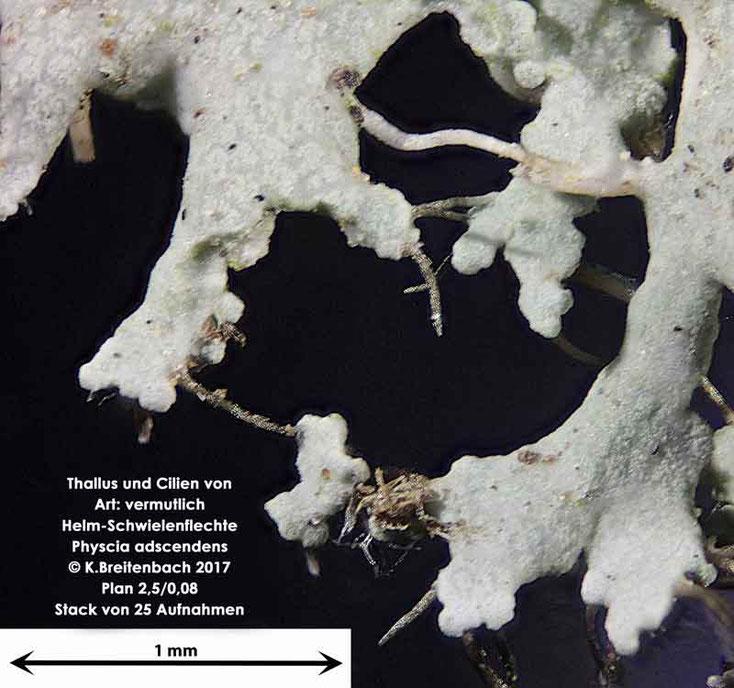 Bild 2 Flechte von Baumrinde, von einer Platane Art: vermutlich Physcia adscendens (Helm-Schwielenflechte)