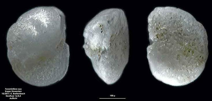 Bild 5 Foraminifere aus Koper/Slowenien Art: spec Aubignyna planidorso (Atkinson, 1969)
