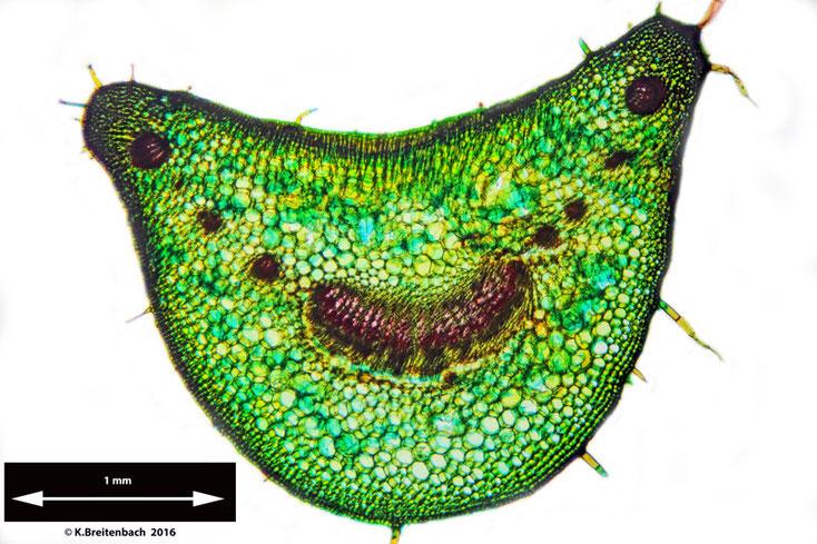 """Bild 12 Blattstängel Querschnitt des """"Klebrigen Salbei"""" (Salvia glutinosa)"""