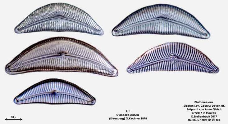Bild 10 Diatomeen aus Slapton Ley, Devon UK; Art: Cymbella cistula (Ehrenberg) O.Kirchner 1878