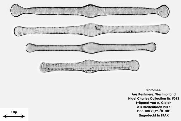 Bild 7 Diatomeen aus Kentmere Westmoreland UK Art: Tabellaria fenestrata (Lyngbye) Kützing