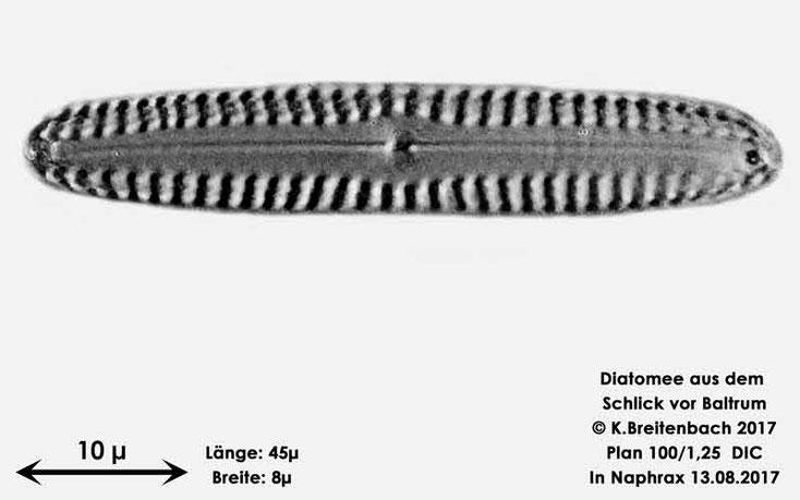 Bild 16 Diatomee aus dem Watt vor Baltrum; Gattung: Pinnularia spec.